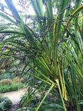 cordyline-stricta