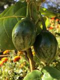 tamarillo-fruits